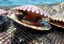 Exportación de concha de abanico
